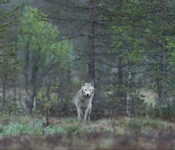 Tái hoang dã để cứu Hành tinh – Rewilding to Save the Planet